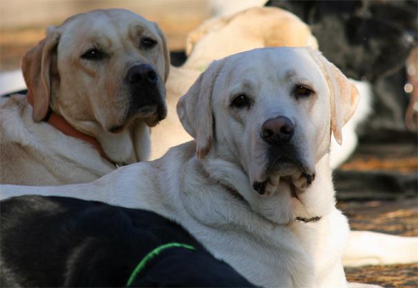 Førerhunder som ligger, to lyse labradorer