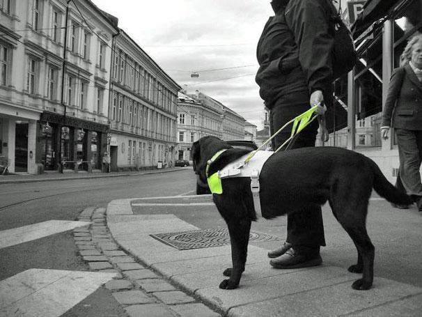 Førerhunden leder deg fram til fotgjengerovergangen og stopper der. Den går videre på din kommando.