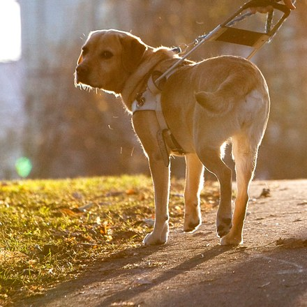 En førerhund som ser inn i kameraet